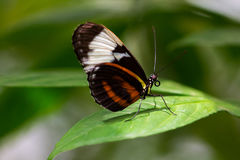 Cydno longwing. Portrait of tropical heliconius cydno butterfly on the leaf Stock Photo