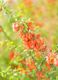 Cydonia flowers Stock Images