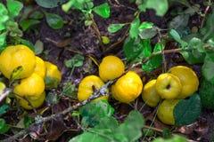 Cydonia of Japans kweepeerfruit op een witte achtergrond Stock Foto's