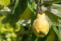 Cydonia oblonga. Beautiful yellow Quince with green leaves Stock Photos