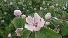 Cydonia oblonga flower Stock Images