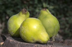Cydonia oblonga fruits on wooden stump. Edible but very sour Royalty Free Stock Images