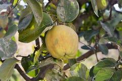 Cydonia oblonga owoc wiesza na gałąź, rippened jadalny kwaśny jabłko obraz stock