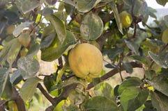 Cydonia oblonga owoc wiesza na gałąź, rippened jadalny kwaśny jabłko zdjęcia royalty free