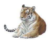Cyfrowego obraz Tygrysi portret Obrazy Royalty Free