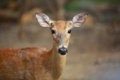 Cyfrowej fotografii tło Whitetail królicy rogacz Fotografia Royalty Free