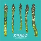 Cyfrowej kreskowej sztuki koloru wektorowy szczegółowy asparagus royalty ilustracja
