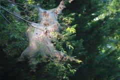 Cygański ćma w słońcu Fotografia Stock