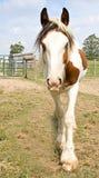 Cyganu Vanner koń zdjęcie stock