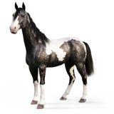 Cyganu Vanner koń na białym tle Zdjęcie Royalty Free