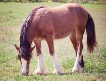 Cyganu Vanner koń Obraz Royalty Free