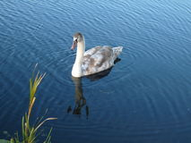 Cygnet On Water stock photography
