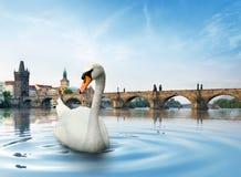 Cygne à Prague photographie stock libre de droits