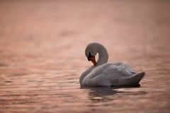 Cygne élégant lissant sur l'eau rose photographie stock