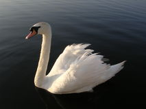 Cygne 2 Photo stock