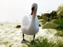 Cygne Image stock