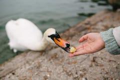 Cygne aliment? par une main femelle photographie stock libre de droits