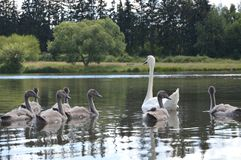 Cygne avec de petits cygnes sur un étang Photos stock