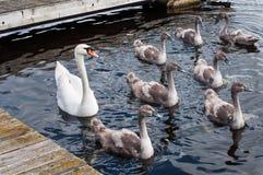Cygne avec des jeunes cygnes ou des cygnes de bébé Photographie stock libre de droits