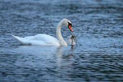 Cygne avec des jeunes sur le lac dans leur habitat de nature Photo stock