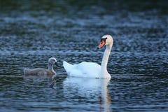 Cygne avec des jeunes sur le lac dans leur habitat de nature Photos libres de droits