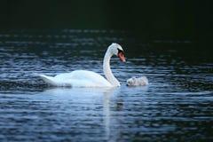 Cygne avec des jeunes sur le lac dans leur habitat de nature Images libres de droits
