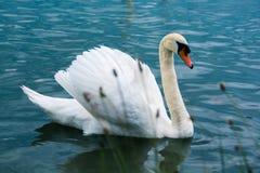 Cygne avec la natation de fierté dans un lac en été Photo stock