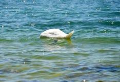 Cygne avec la tête dans l'eau Photographie stock libre de droits