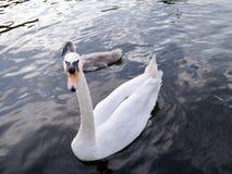 Cygne avec le jeune cygne derrière sur l'eau photos stock