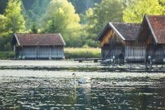 Cygne avec les jeunes cygnes nouveau-nés sur le lac images libres de droits
