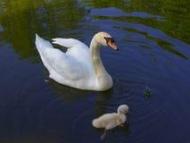 Cygne avec un flotteur d'oiseau de bébé sur un étang photo stock