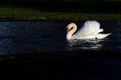 Cygne blanc à l'arrière-plan noir Photo libre de droits
