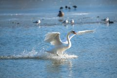 Cygne blanc photo stock