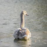 Cygne blanc photos stock