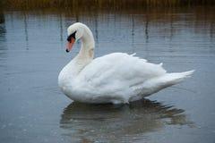 Cygne blanc Photo libre de droits