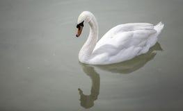 Cygne blanc Images stock