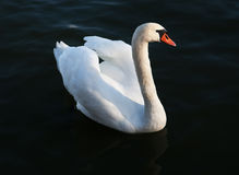 Cygne blanc Image stock