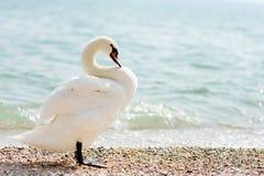 Cygne blanc Images libres de droits