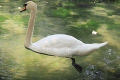 Cygne blanc Photo stock