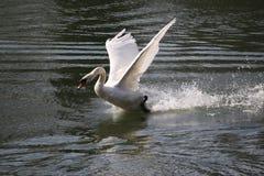Cygne blanc Image libre de droits