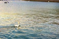 Cygne blanc photographie stock libre de droits