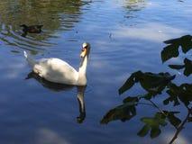 cygne blanc d'amour Photos stock