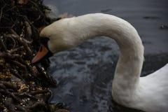 Cygne blanc dans l'étang d'un parc images libres de droits
