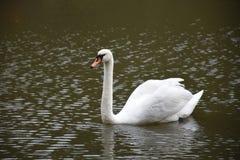 Cygne blanc dans l'étang d'un parc photo stock