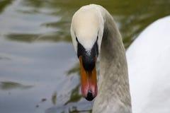 Cygne blanc dans l'étang photo stock