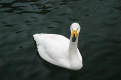 Cygne blanc dans l'étang photos libres de droits