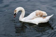 Cygne blanc dans l'étang image libre de droits