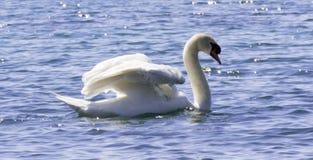 Cygne blanc dans l'eau Image libre de droits