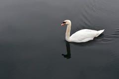 Cygne blanc dans l'eau noire calme Photo libre de droits