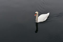 Cygne blanc dans l'eau noire calme Photographie stock